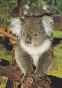 Koala and Young,  Australia,   50-70s