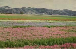Flower Seeds, Lompoc and Santa Maria Valleys, Union Oil Company, CA.USA Postcard
