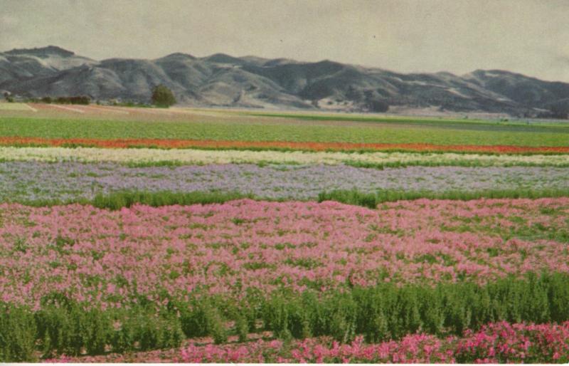 Flower Seeds, Lompoc and Santa Maria Valleys, Union Oil Company, CA.USA Postcard / HipPostcard