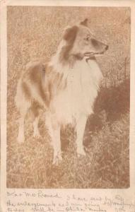 Dog  Rough Collie Standing in Grass Real Photo Antique Postcard J64236
