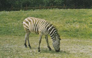 Alberta Game Farm, Zebra, Edmonton, Alberta, Canada, 40's-60's
