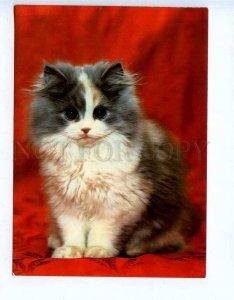 284776 Czechoslovakia CATS Persian tortoiseshell old photo postcard