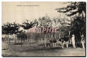 Old Postcard Ostrich Guinea Kayes The Ostriches of & # 39hopital