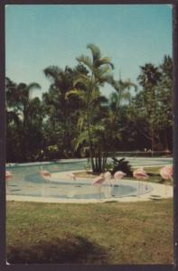 Flamingos,San Diego Zoo,CA Postcard
