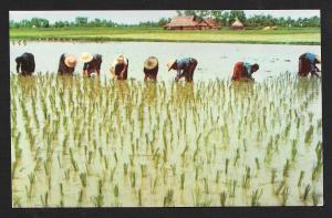 Rice Transplanting Nakorn-Chaisri Thailand unused c1950's