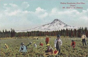 Oregon Hood River Picking Strawberries