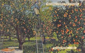 Harvesting a Golden Crop of Oranges, in Sunny Florida,   PU-1944