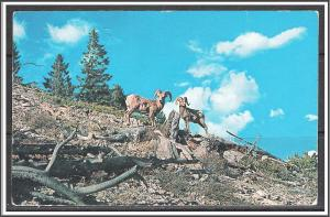 United States - Big Horn Mountain Sheep - [MX-353]