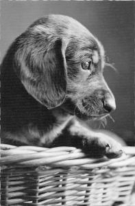 BR88962 teckel dog chien real photo switzerland  animal animaux
