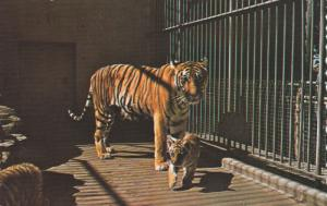 Tiger and her Cubs,  Granby Zoological Garden,  Granby,  Quebec,  Canada,   4...
