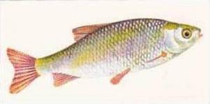 Craven Black Cat Vintage Cigarette Card Sport Fish No 6 Rudd