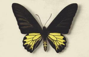 Butterfly Postcard, Papilio Aeacus Kaguya (1950s)
