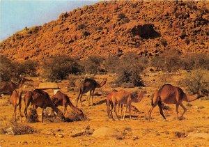 us8131 saudit arabia west region camels herds saudi arabia Djedda