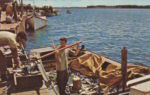Canada Unloading Days Catch Of Mackeral Rustico Harbour Prince Edward Island
