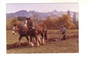 Clydesdale Horses at Work, Farm in New Zealand, Photo K Salt