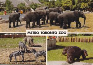 Hippopotamus, Elepahants, Zebras, Metro Toronto Zoo, TORONTO, Ontario, Canada...