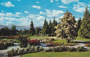 Flowering Dogwood Tree, U.B.C.,  Campus,  Vancouver,  B.C.,  Canada,  40-60s