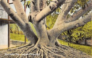 Bermuda Post card Old Vintage Antique Postcard Giant Rubber Tree 1938