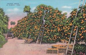 Florida Typical Orange Grove During Harvest
