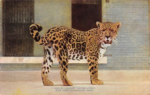 Tiger Leopard Lion Post Card Jaguar Senor Lopez New York Zoological Park, USA...