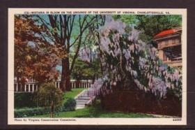 Virginia Post Card Wistaria University of Va Charlottesvile