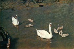 (e59) Wight Shalfleet Creek Swans and Cygnets Dixon Postcard