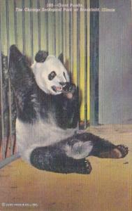 Illinois Chicago Zoological Park At Brookfield The Giant Panda Curteich