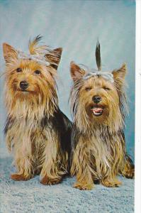 Yorkshire Terriers With Blue Ribbons