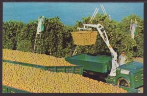 Picking Oranges in FL Postcard
