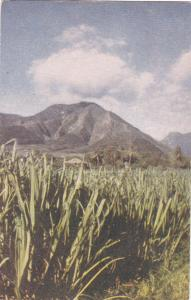 Sugar Cane Fields, Mountain in the back ground, 40-60s