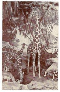 American Museum Natural History African Giraffe Postcard