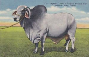 Florida Grand Champion Brahman Bull Emperor Curteich