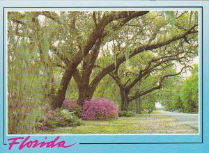 Florida Live Oak Trees Along Roadway