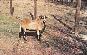 Barbados Sheep Gobblers Knob Zoo Farm Bloomingdale Indiana