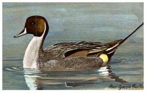 Bird ,  Pintail