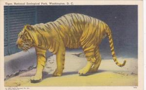 Washington D C Tiger National Zoological Park Curteich