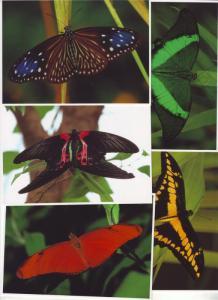 P192 JLs 5 postcard lg 4 1/4 x 6 butterfly excellent cond.