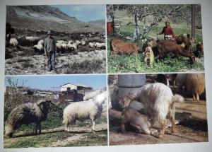 Turkey Cypriot Shepherds Postcard