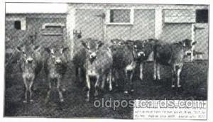 Heifer Calves, Hood Farm Pogis, Lowell Mass. USA Dairy, Cow Cows, Postcard Po...