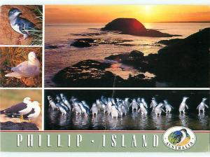 Phillip Island Victoria Austrailia Sunset Penguins Sea Gulls  Postcard  # 7694