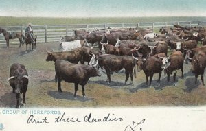 A group of Hereford Cows , 1907 ; TUCK 2429