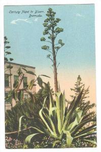 Century Plant In Bloom, Bermuda, 1900-1910s