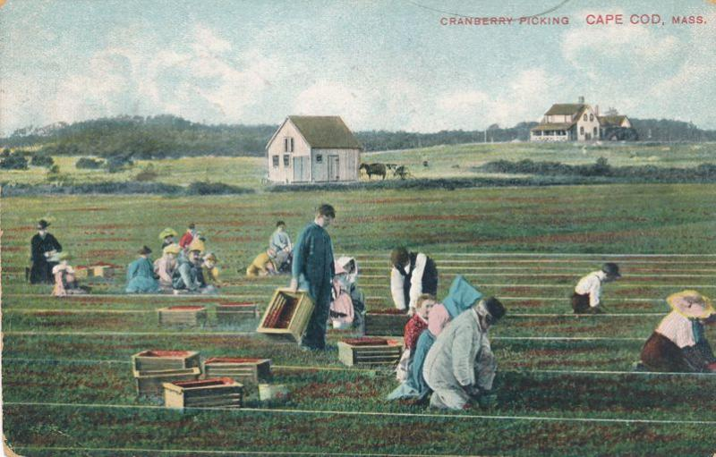 Cranberry Picking on Cape Cod, Massachusetts - pm 1908 - DB - Mailed from Onset