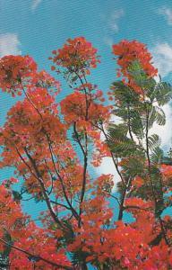 Royal Poinciana In Full Bloom