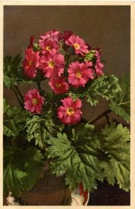 Flowers -     Chinese Primrose                          (Thor & Gyger #1170)