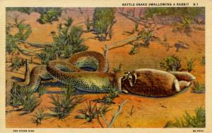 Rattlesnake Swallowing a Rabbit.
