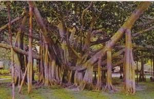 Hawaii The Banyan Tree 1973