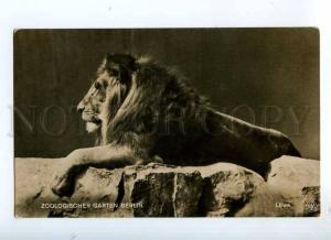 235040 ZOO Zoologischen Garten BERLIN Lowe LION Vintage PHOTO