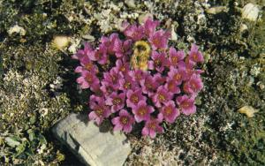 Puple Saxifrage With Bumblebee, CAPE BATHURST, Northwest Territories, Canada,...