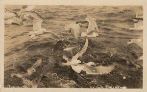 RP: Sea Gulls , Alaska Coast , 1910s ; THWAITES 1434